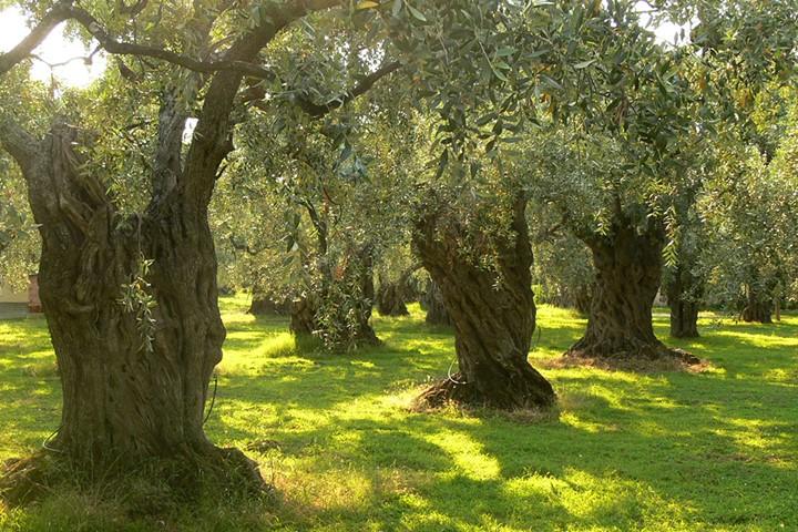 Оливковая роща в Аттике, Аттика