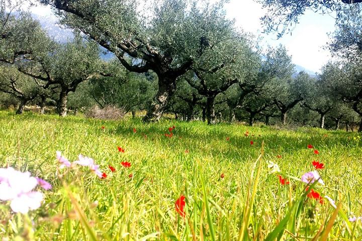 Olive Grove in Halkidiki