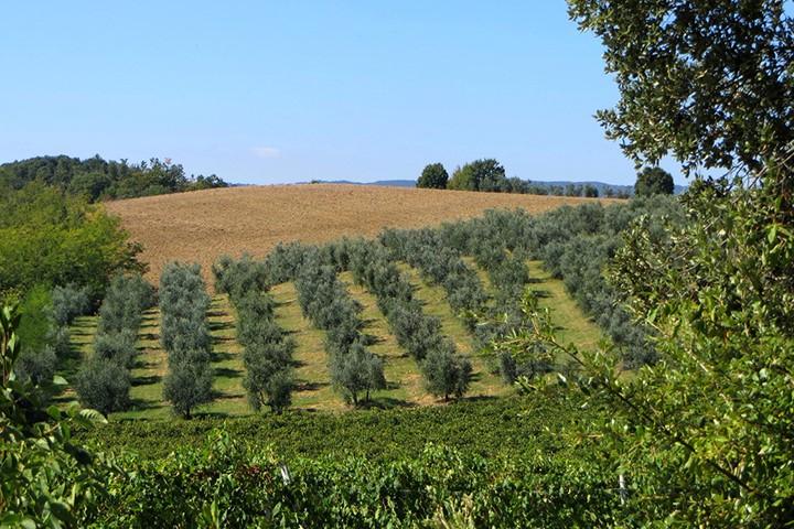 Olive grove on Crete, Crete