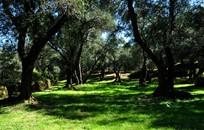 Corfu, Symbolic  ceremony, Olive Grove on Corfu