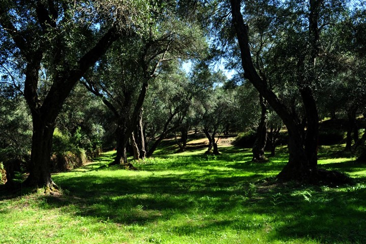 Olive Grove on Corfu