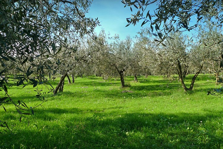 Olive grove in Mykonos