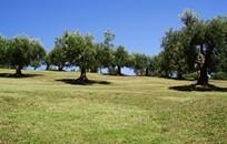 Санторини, Символическая церемония, Оливковая роща на Санторини