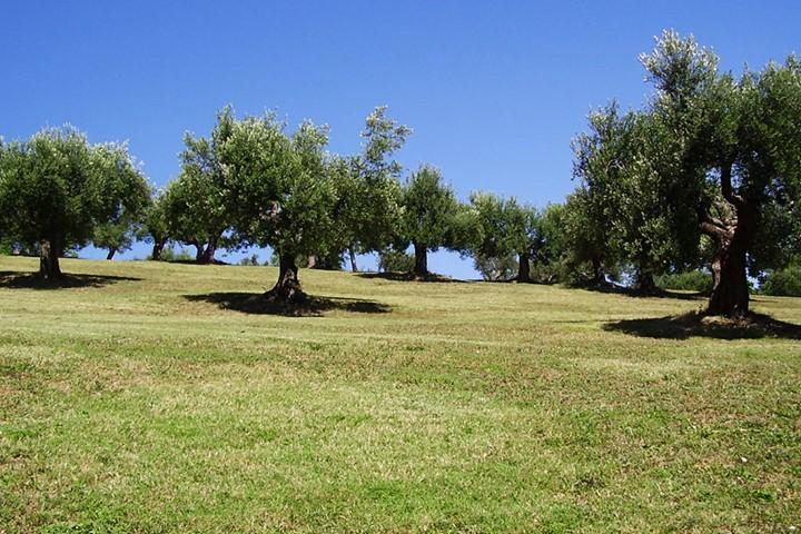 Оливковая роща на Санторини, Санторини