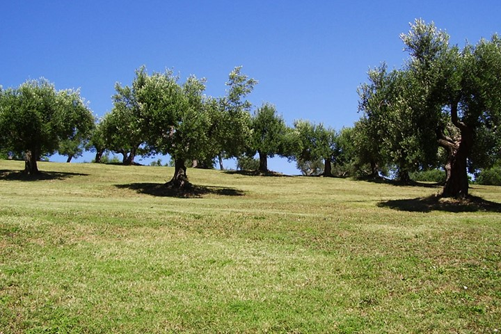 Olive grove on Santorini Island, Santorini