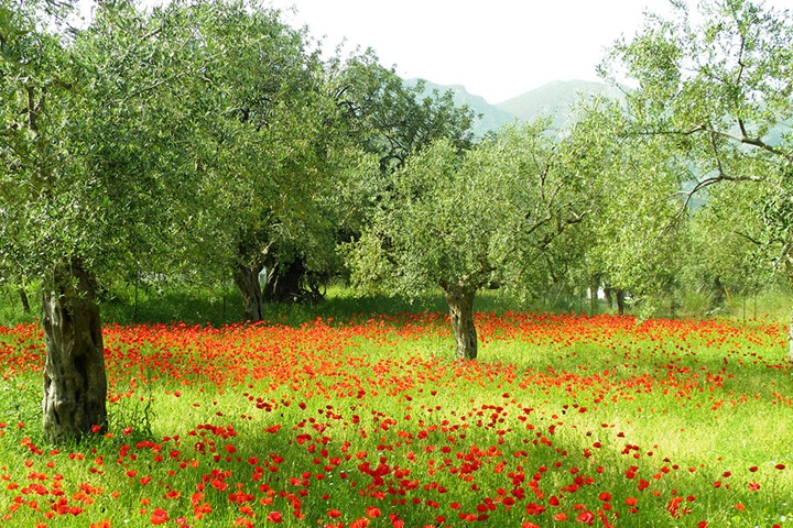 Olive grove on Peloponnese