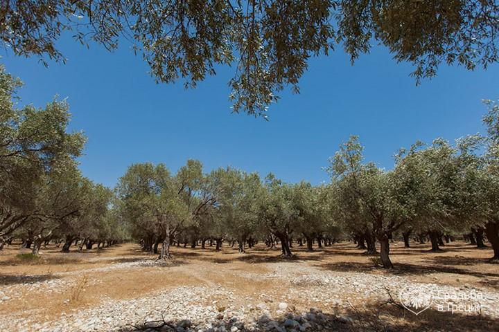 Оливковая роща на Родосе, Родос