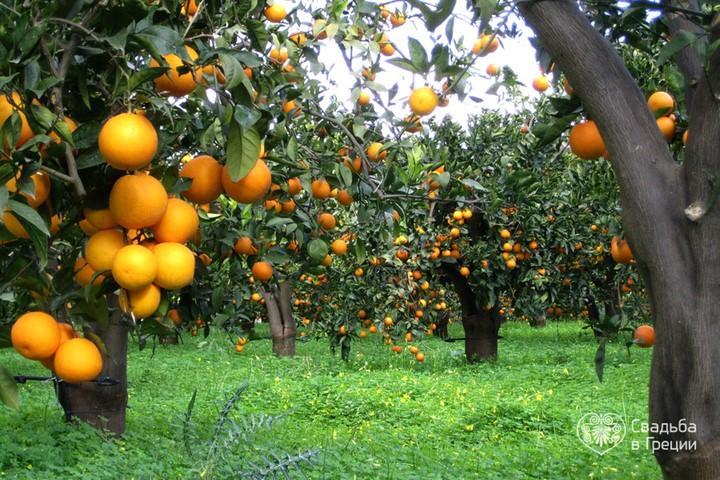 Апельсиновая роща, Крит